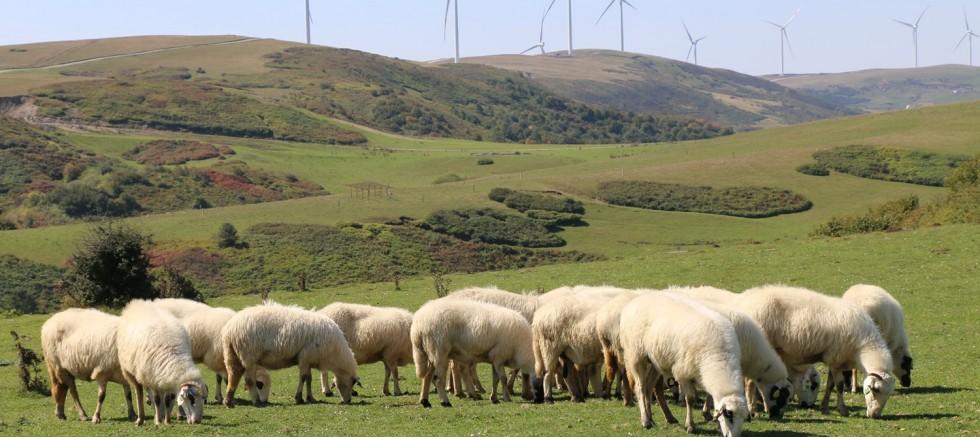 Damızlık Koyunlar Ocak Ayında Yavrulayacak